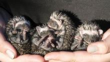 Nursing Hedgehog Babies