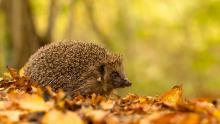 European Hedgehog walking through the forest.