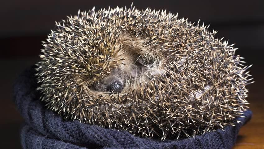Hedgehog Bedding Sleeping