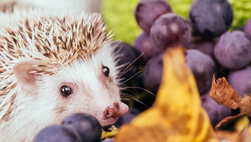 List of Harmful Foods for Hedgehogs: Grapes, Raisins, Ivermectins, Tea Tree Oil, Nuts, Seeds, Dairies and Junk Foods